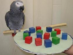 De Afrikaanse grijze papegaai Alex is in staat te tellen en eenvoudige zinnen te vormen.