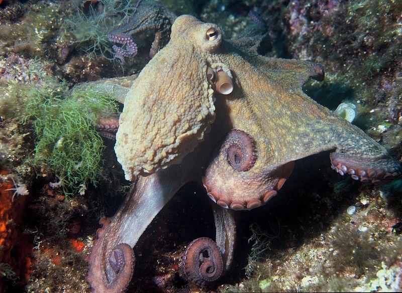 Octopussen zijn de slimste ongewervelden en slimmer dan de meeste landdieren. Moeder Natuur's back-up plan als we er een zootje van maken?