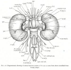 Young maakte in 1964 deze analyse van het octopusbrein. Nu weten we dat het even ingewikkeld is als dat van een zoogdier of vogel.
