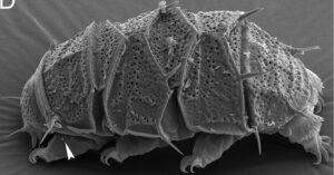 Het beerdiertje (tardigrade) is een van de taaiste organismen bekend. Beerdiertjes kunnen zelfs een ruimtereis naar Mars aan de buitenkant van een ruimteschip overleven.