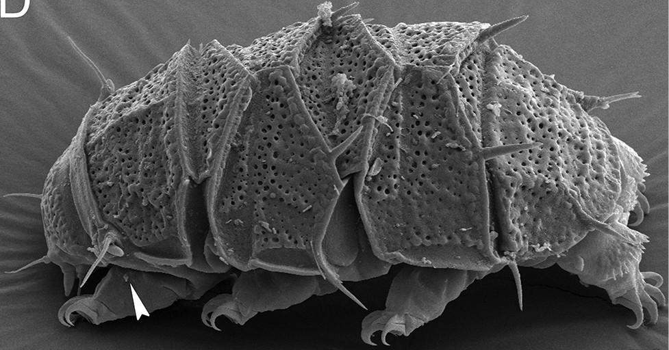 het beerdiertje (tardigrade) is een van de taaiste organismen bekend., Tardigrades kunnen zelfs een ruimtereis naar Mars aan de buitenkant van een ruimteschip overleven.