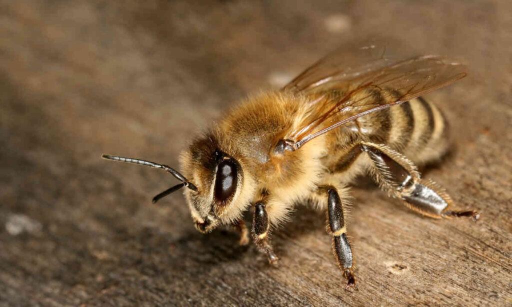 De honingbij. Pesticiden richten een slachting aan. Bron: Wikimedia Commons/Richard Bartz/public domain