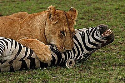 Deze leeuw past natuurrecht toe op een zebra.