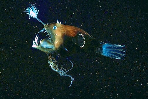 De lantaarnhengelvis lokt haar prooi met een lichtgevende 'hengel'. Een mannetje lift mee, gedegenereerd tot balzak. Vergeleken met dit waren de biologen nog vrij braaf. Bron: animal.memozee.com