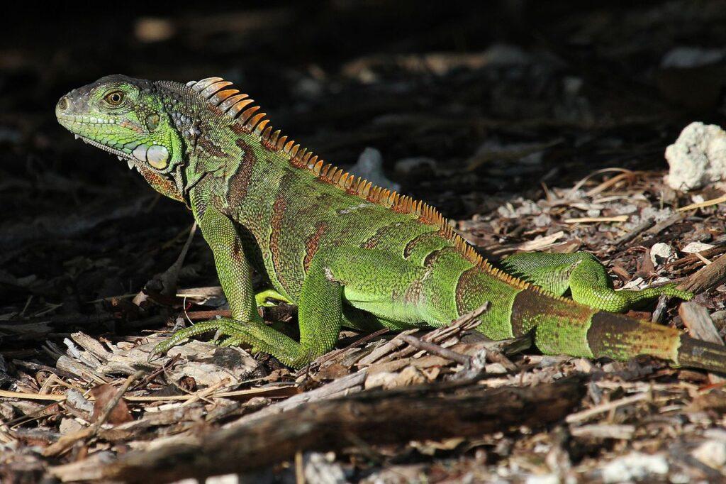 De groene leguaan, Iguana iguana ssp. iguana, is in Zuid-Florida een invasieve exoot. Leguanen gedijen goed in het subtropische klimaat.