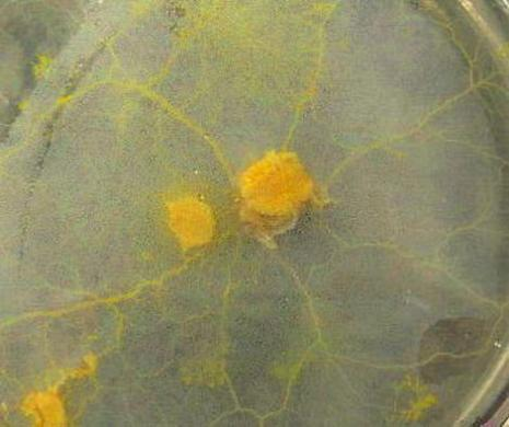 Physarum polycephalum slijmzwam. Deze eencellige slijmzwam kan de weg leren vinden in een doolhof.