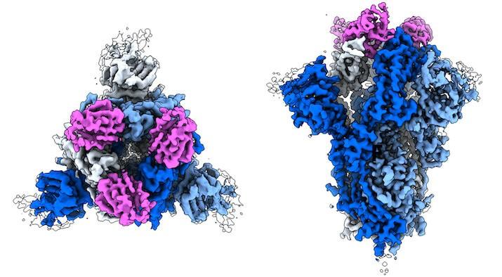Voor- en zijaanzicht van het antilichaam tegen covid-19 in de aanval. De drie roze antilichamen deactiveren de blauwe spike. Bron:  Credit: Walter and Manglik Labs/UCSF/HHMI