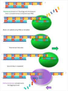 Zo werkt telomerase. Bron: Wikimedia Commons/Telomerase