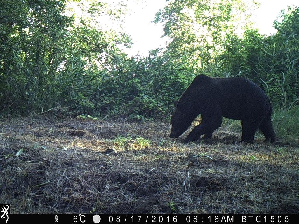Kerncentrale als mensenverschrikker. Een zwarte beer geniet volop van de rust in het prachtige Tsjernobyl-natuurreservaat.
