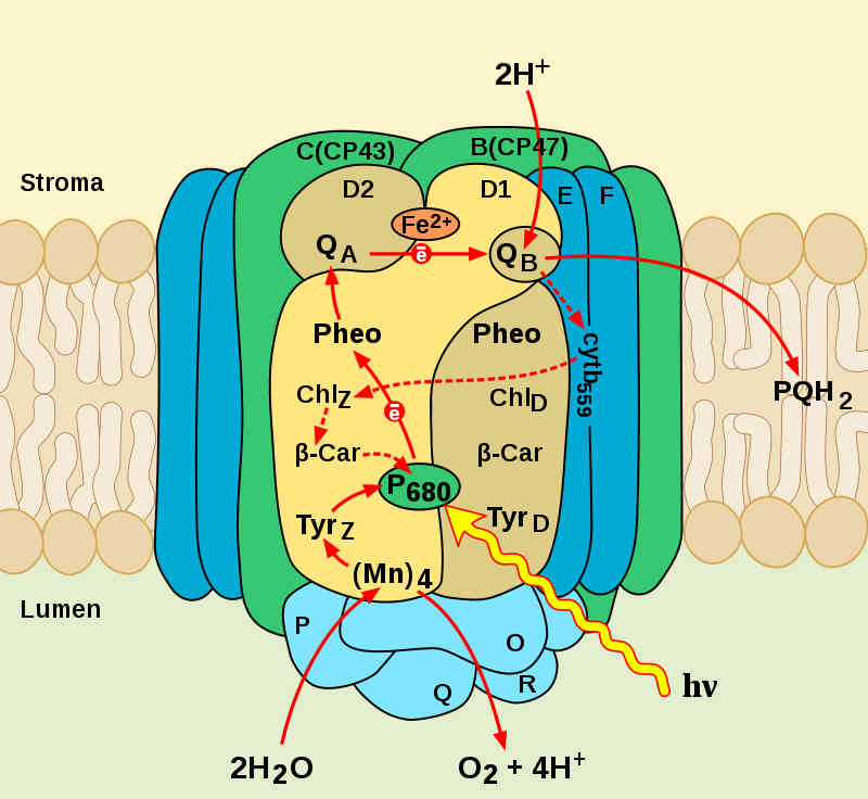 Schema van fotosysteem II. Lichtdeeltjes (hv) worden geoogst en gebruikt om water te splitsen. De zuurstof komt vrij, de waterstof wordt aan de energiedrager plastoquinon gehecht.